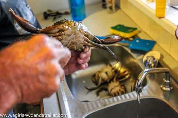 Bundaberg Mud Crab, the killing