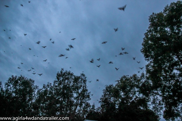 In the evenings the sky was filled with bats in Coen.